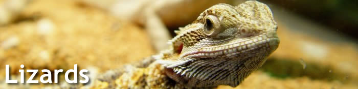 Gills and Geckos - Lizards category
